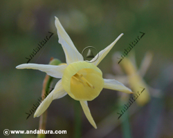 narciso-narcissus-nevadensis
