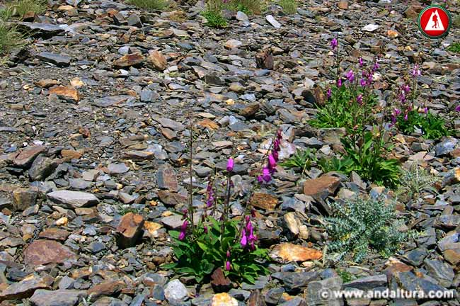Entorno Dedalera - Digitalis purpurea -