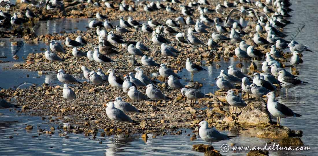 Aves en las Salinas del Cerrillo