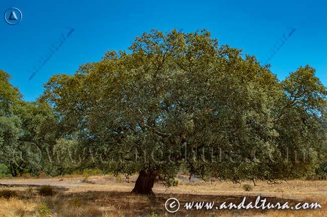 Espacios Naturales Protegidos de Andalucía - Encina en la Reserva Natural Concertada Puerto Moral