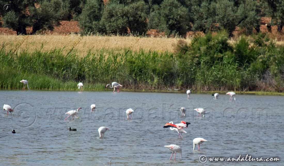 Espacios Naturales Protegidos de Andalucía - Reserva Natural Lagunas de Campillos - Laguna de la Marcela