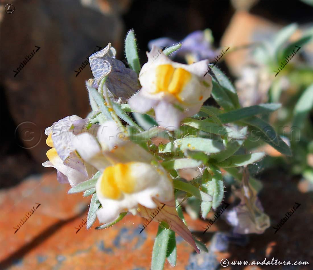Linaria Glacialis - Conejitos de la Sierra-