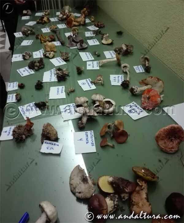 Micología en Andalucía - Exposición de setas tras ruta micológica