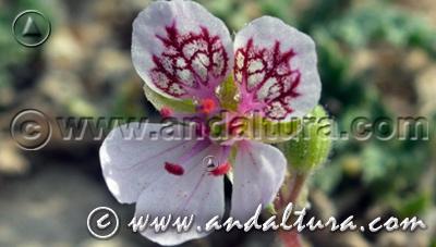 Acceso a la Flora de la Sierra de Castril: erodium cazorlanum