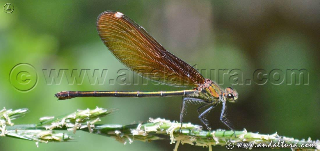 Ejemplar de Bella Dama - Calopteryx virgo -