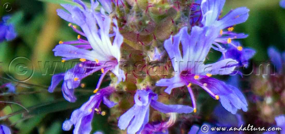Hierba pincel - Coris monspeliensis -