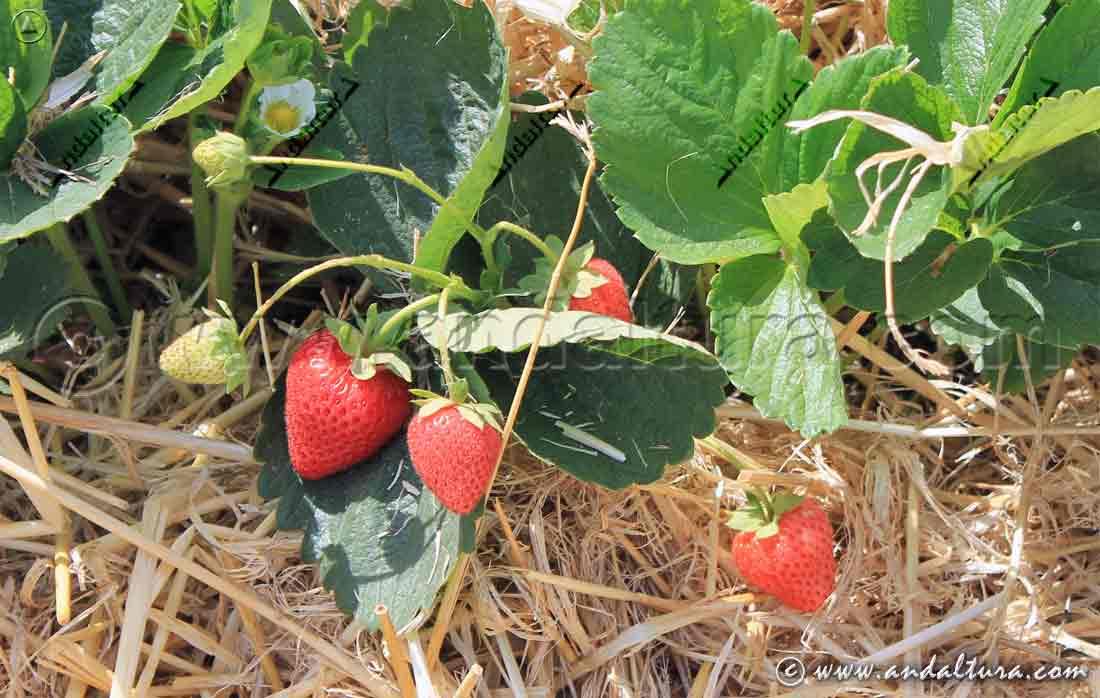 Fresas cultivadas en las proximidades del Portichuelo de Cástaras