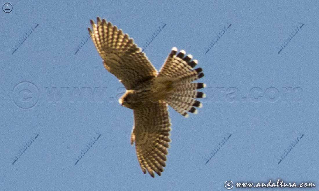 Falco tinnunculus - Cernícalo -