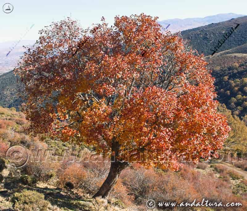 Arce - Acer monspessulanum -